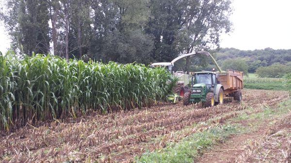 Ailleurs aussi le sorgho fait des émules: la cuma de la Région de Montignac, en Dordogne, a ensilé l'année dernière une dizaine d'hectares de sorgho pour l'un de ses adhérents, en culture pure cette fois.. Techniquement, il a simplement fallu enlever l'éclateur pour éviter de frictionner les plantes.