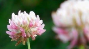 Fleur de trèfle blanc (gros plan)