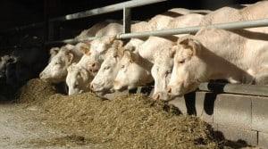 Production de viande bovine