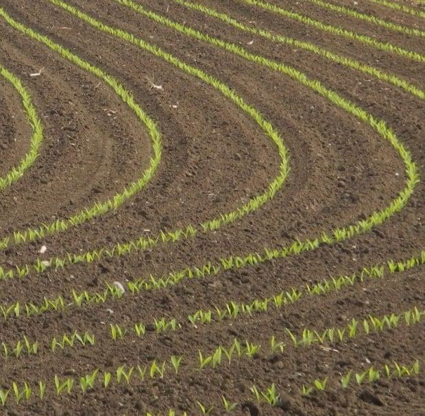 semis maïs levée dossier entraid production végétales