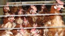 Un élevage en batterie de l'Ain est menacé de fermeture (©L214).