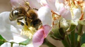 Les producteurs de pommes, comme ceux de betteraves ou d'orge, craignent l'interdiction des néonicotinoïdes.