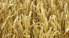 Combiner les techniques culturales pour optimiser la teneur en protéines des blés, pour une meilleure valorisation commerciale.