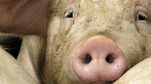 cours du porc