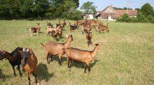 Chèvres au pâturage à l'Inra