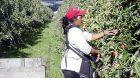 Cueillette pommes saisonniers Grande-Bretagne