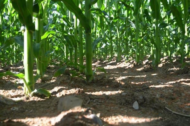 La répartition plus homogène des plantes a plusieurs effets dont celui de capter plus de lumière et donc d'en laisser moins aux adventices. Sous les feuilles, le sol est resté propre.