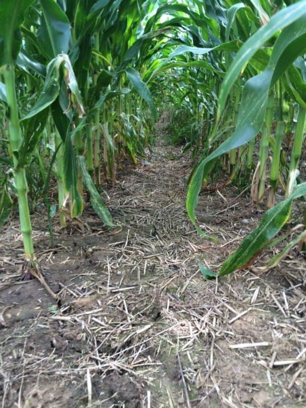 Les résidus de culture précédente sont encore là, les sols sont restés couverts en permanence.