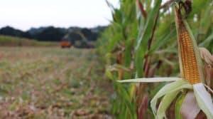 Epi de maïs sur pied peu de temps avant de passer dans la machine