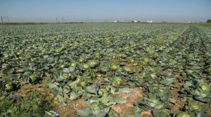 Baisse de production des choux à choucroute