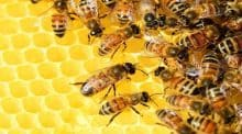 Sale temps pour les abeilles