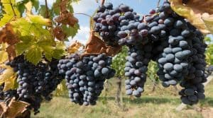 Mauvaise année en perspective pour la viticulture.