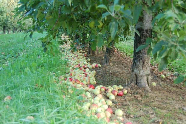 10_recolte pomme_Marnothe_4