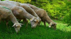 Brexit: danger pour les éleveurs ovins?