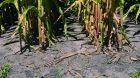 Principe : il s'agit d'un semis effectué en double-rang où les grains sont semés en quinconce avec un écartement inter-rang de 20cm