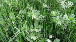 Association céréales-légumineuses démontre ses avantages agronomiques, notamment en agriculture biologique.