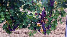 Cépage hybrides résistants vins vignes