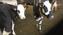 Production laitière, Holstein, INRA, ESA, PASS'SAS, marge brute, Montbéliarde, Pie Rouge Nordique, Normande