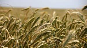 AFP céréales demande revenu redressement