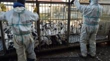 Afp grippe aviaire palmipède zone abattage préventif
