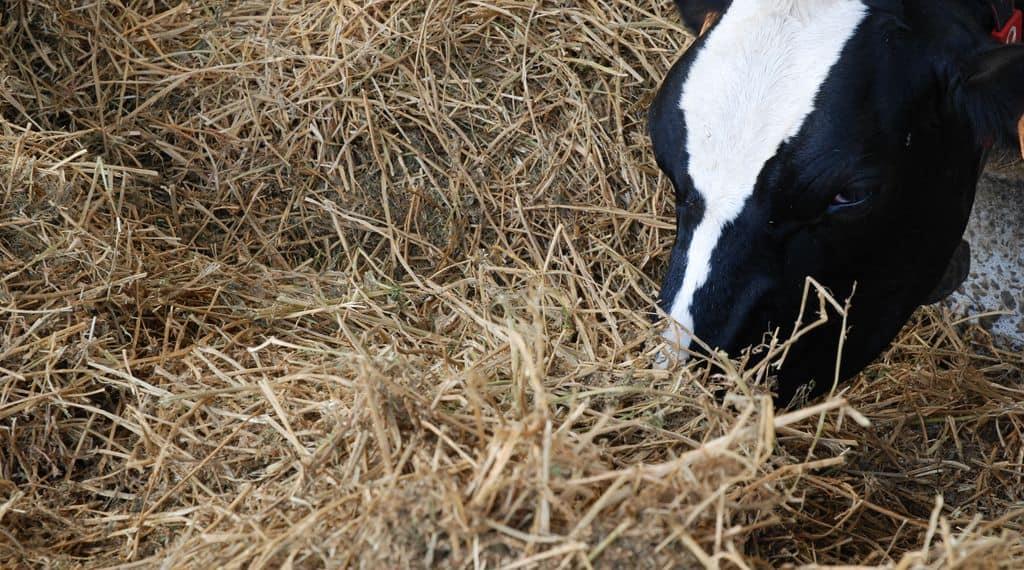Vache à l'auge et au foin