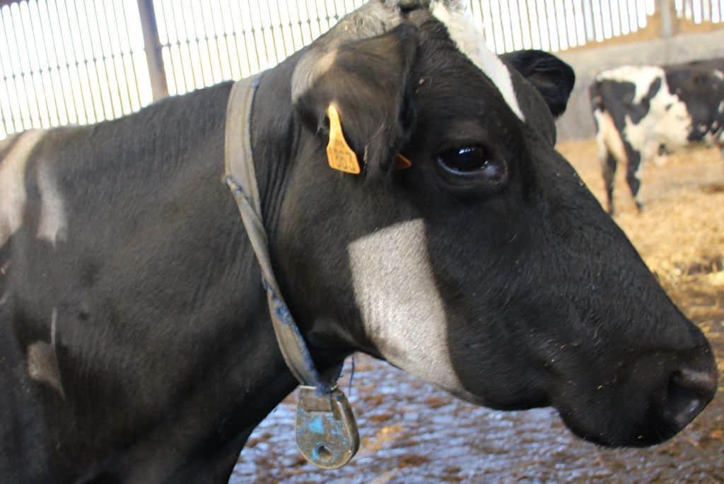 bontul-croisement-de-races-laitières-prim-holstein-montbéliarde-scandinave-jersiaise-kiwi-vache-finistère