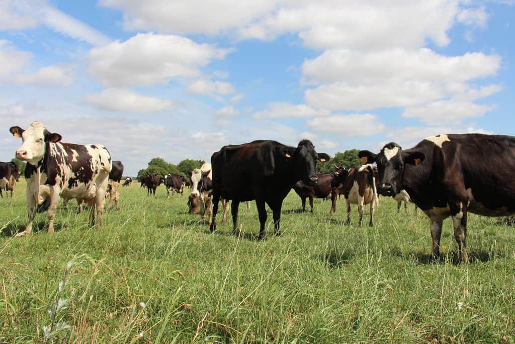chicoré-vache-laitière-valéry-lebouc-maine-et-loire-paturage-le-troupeau