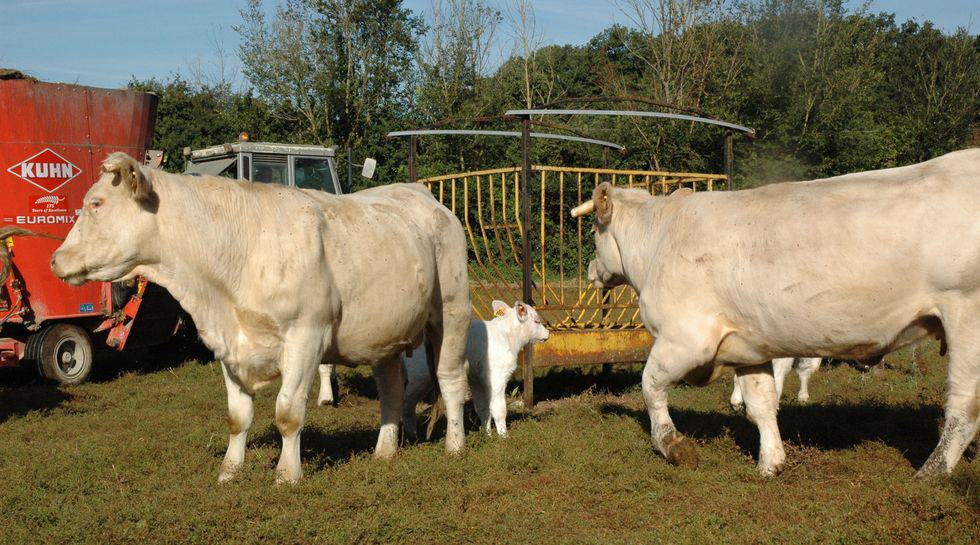 viande bovine, CETA, réformes laitières, crise, cours bovins,