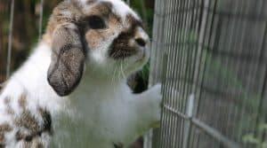 AFP Le Parlement européen demande l'élaboration d'une mesure afin d'améliorer le bien-être des lapins en élevages.