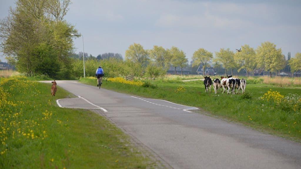 Zapping Sauvetage d'une vache par des cyclistes.