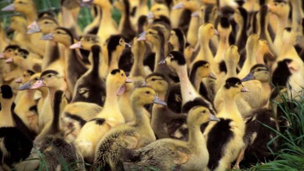 """AFP Signature d'un """"pacte"""" visant à réformer les techniques d'élevage et de transport pour la filière avicole."""