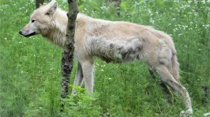 Le gouvernement autorise l'abattage de deux loups supplémentaires. Canis lupus.