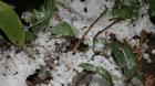 Entraid passe en revue les réseaux sociaux suite aux épisodes de gel. Premières photos et constats des dégâts sur les exploitations.