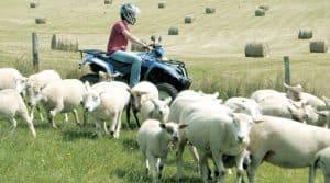 ovins, brebis, installation, formation, reconquête, bergers, bergères,