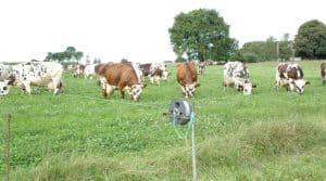 Normandes, rencontres d'éleveurs, herbe, travail, race mixte