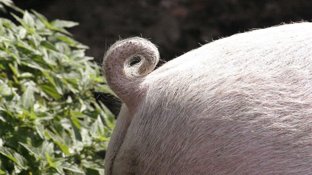Zapping. Sauvé de l'abattoir, cet animal réalise des toiles insolites.