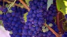 Création d'une appellation d'origine contrôlée pour les vins tranquilles en Corrèze.