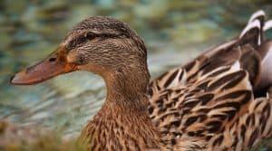 """Selon ces éleveurs, les premiers canards gras devraient être """"disponibles entre la toute fin août et les premières semaines de septembre"""" AFP canards reprise foie gras Sud-Ouest"""