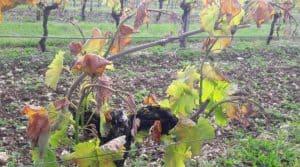 En Gironde 80% du vignoble touché par le gel.