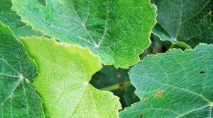 Dans le cadre de cet observatoire, les viticulteurs et caves coopératives planteront des variétés de vignes résistantes à ces deux maladies foliaires à partir de 2018 AFP vigne sud ouest viticulteurs lutte mildiou oïdium vignes récoltes vin