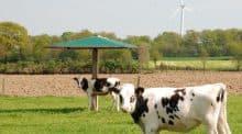 Pour une expérimentation, des parasols simulent l'ombre que pourraient produire des arbres dans une prairie en agroforesterie.