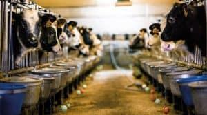 Antibiotiques, veaux, ventilation, bâtiment d'élevage, consommation de viande, INTERBEV