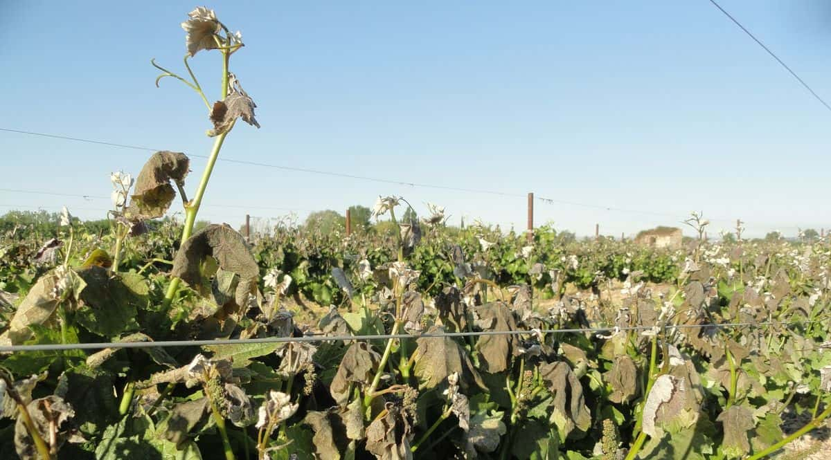 gel_vignoble_Languedoc_Roussillon_occitanie_2017