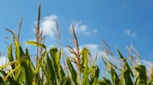 Maïs Durable lance en partenariat avec le Gnis, l'AGPM et l'ufs.