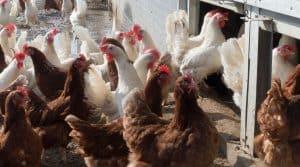 Deuxième régime d'aides pour les professionnels du foie gras dans le Sud-Ouest victimes de la grippe aviaire annoncé par le ministre de l'Agriculture, Stéphane Travert