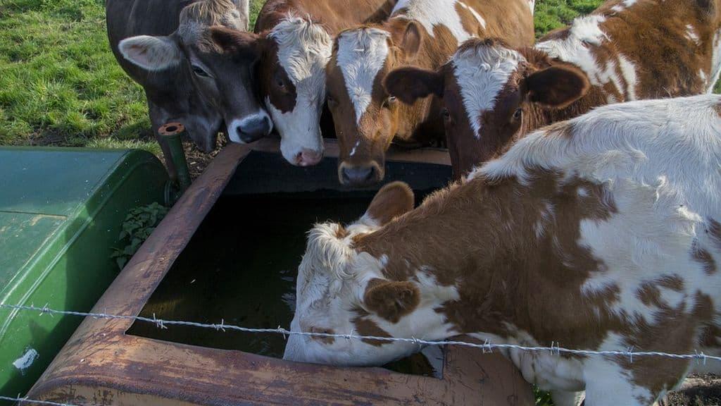 Plusieurs régions en France touchées par la canicule : les bêtes boivent plus et mangent moins. Quel impact sur les systèmes de production