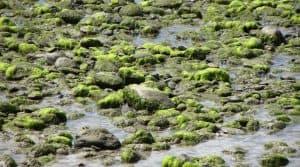 Fléau côtes bretonnes, algues vertes font leur retour, Bretagne, second plan de lutte