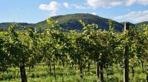 Violents orages ont touché les vignes dans le Beaujolais
