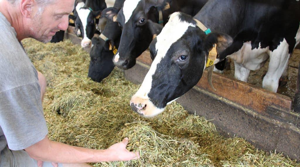 poignée d'une ration maïs luzerne RGH foin observée par l'éleveur