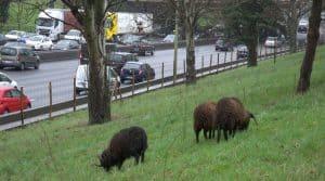 Mouton, tondeuses, paysage, urbain, ville, Nanterre,